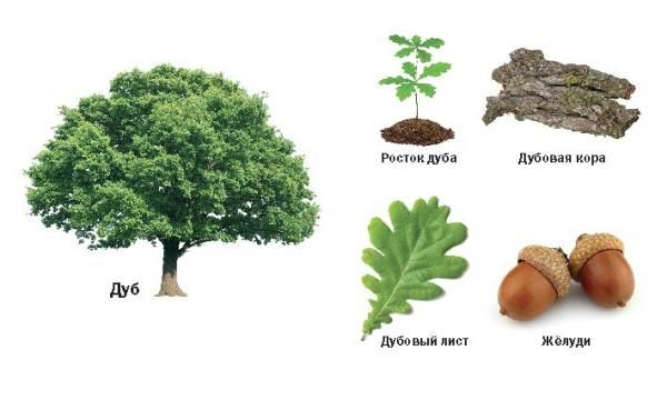 Дерево дуб обыкновенный – зеленый символ мудрости