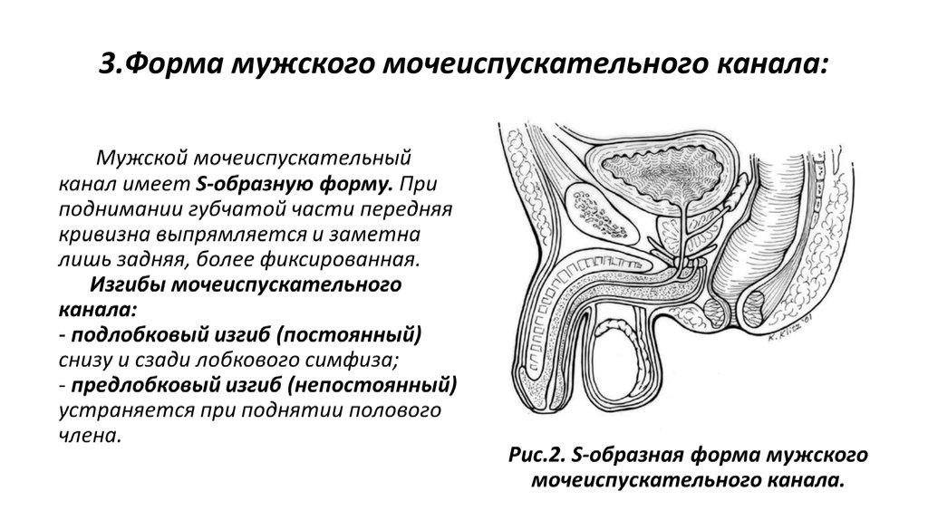 Что такое уретра у женщин? особенности строения и расположения органа. возможные заболевания женской уретры
