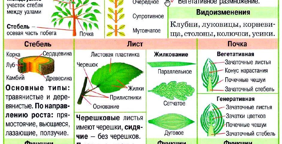 Побег растений: строение и функции
