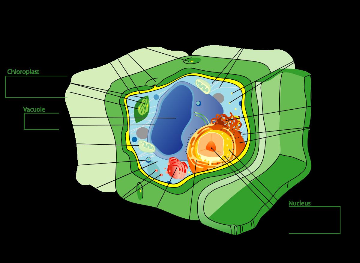 Пластиды: виды, строение и функции. хлоропласты, хромопласты, лейкопласты