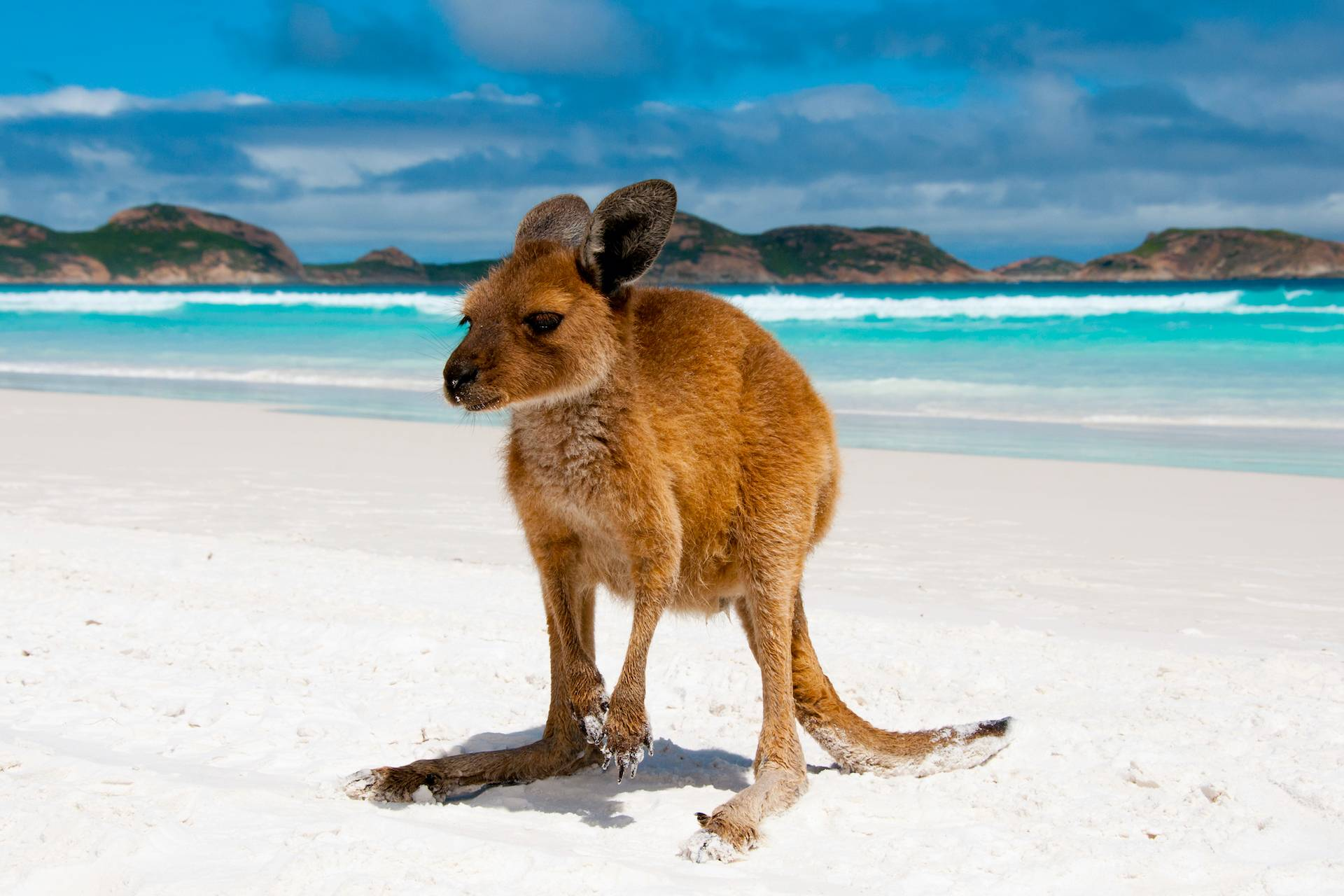 Где живут кенгуру, описание животного и образ жизни