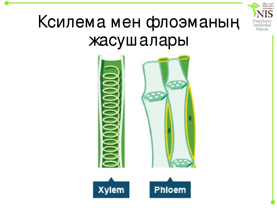 31 ксилема - сложная проводящая ткань. происхождение, строение и функции элементов ксилемы. реакции обнаружения.