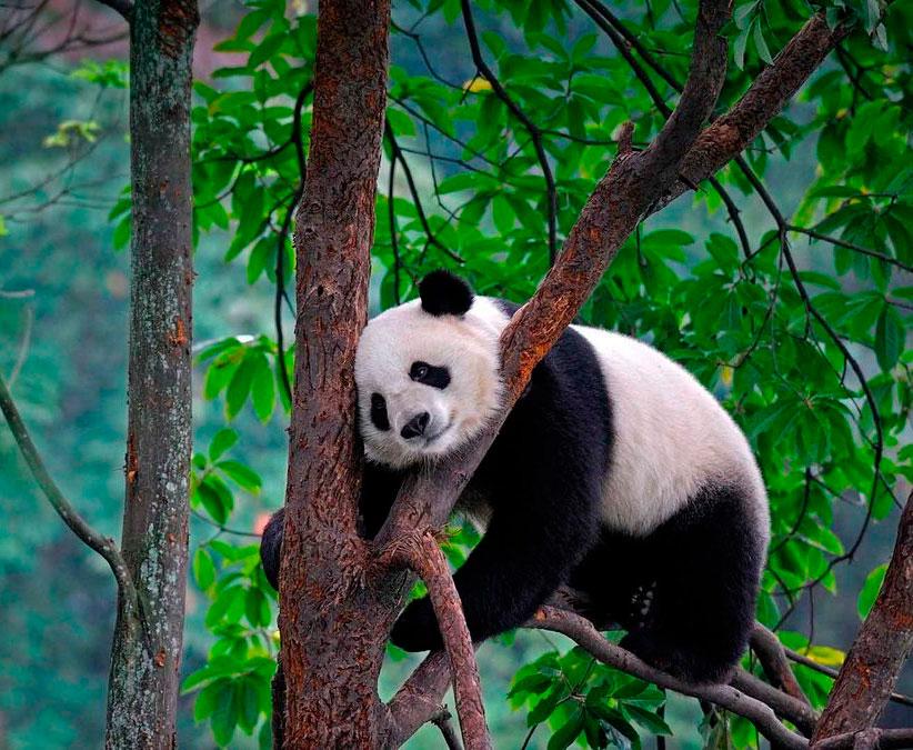 Что означает символ панда в психологии, поэзии или искусстве?