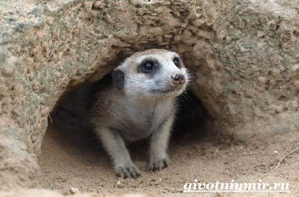 Сурикат - это милое экзотическое животное, которое может стать домашним любимцем