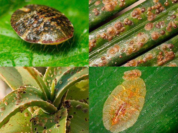 Средство от трипсов на комнатных растениях: причины появления, обзор методов борьбы, отзывы