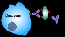 Фагоцитоз
