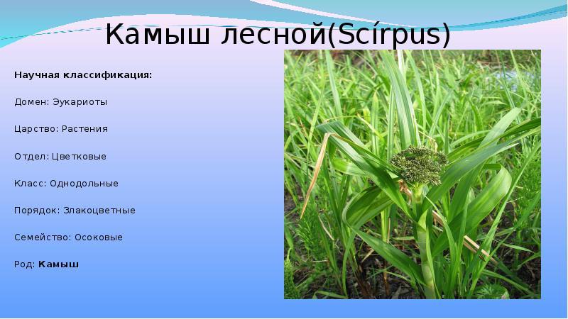 Камыш: фото озерного и болотного вида, подробное описание, лечебные свойства