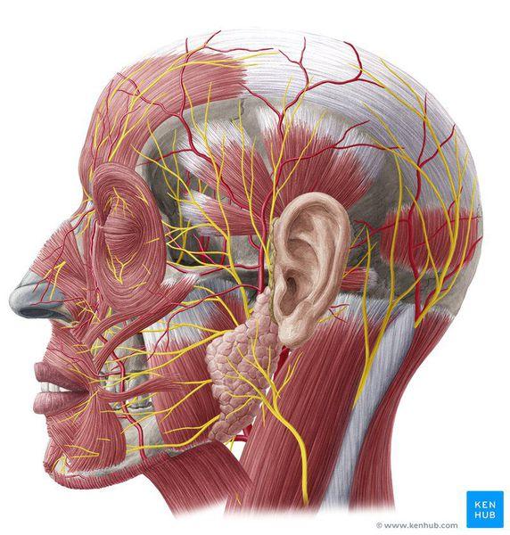 Неврит - что это такое? как вылечить неврит?