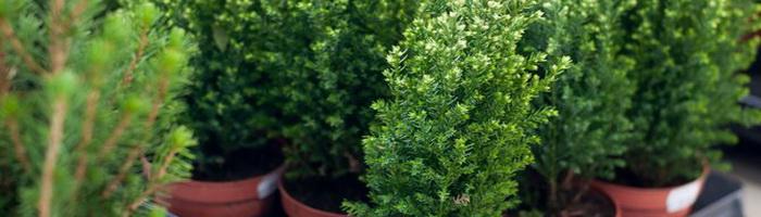 Кипарис- выращивание в саду и в домашних условиях