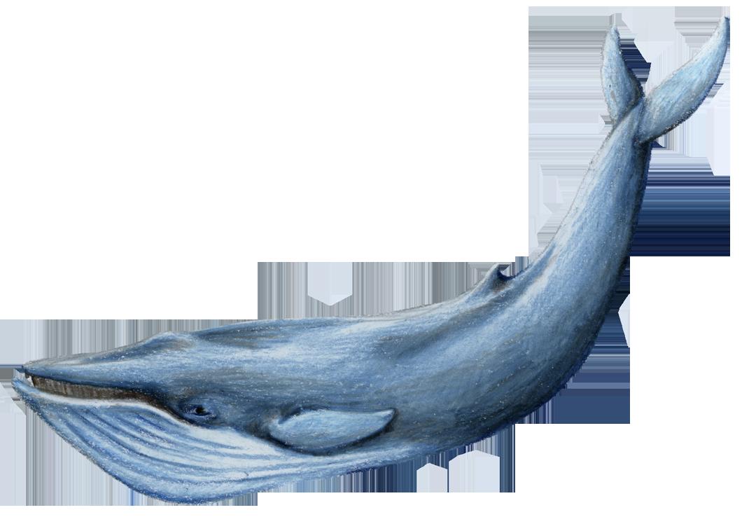 Синий кит | животные вики | fandom