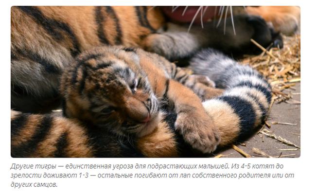 Восточный гороскоп: тигр  года тигра, характеристика родившихся в год тигра — нло мир интернет — журнал об нло