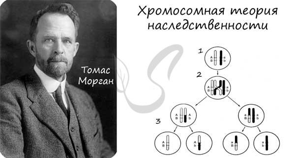Хромосомная теория наследственности. сцепленное наследование признаков. примеры сцепленного наследования признаков у человека.