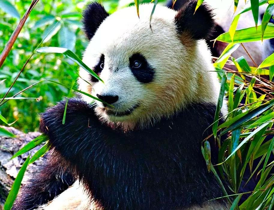 Большая панда: фото, описание, где обитает, чем питается, угрозы