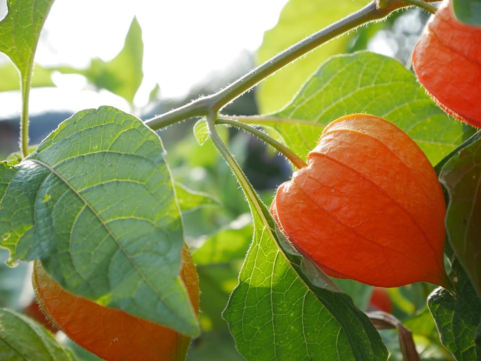 Физалис - что это такое, съедобные и декоративные виды, полезные свойства и вред ягод
