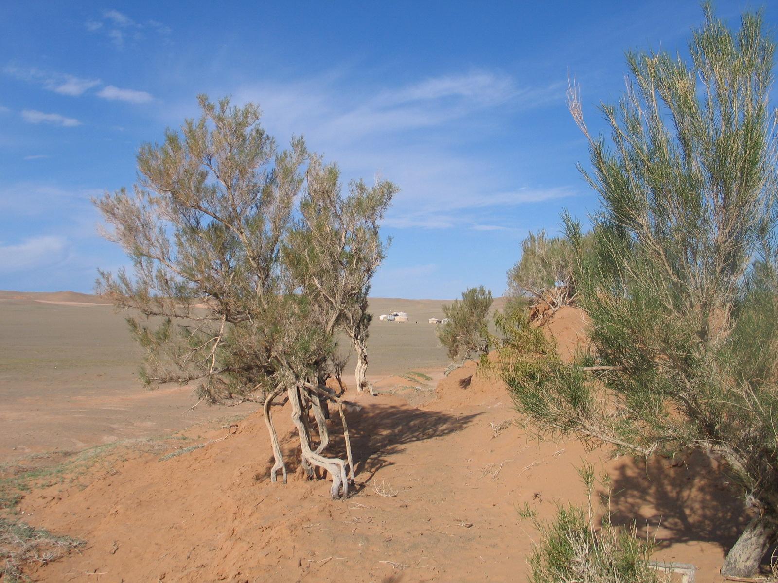 Саксаул черный – растение пустыни