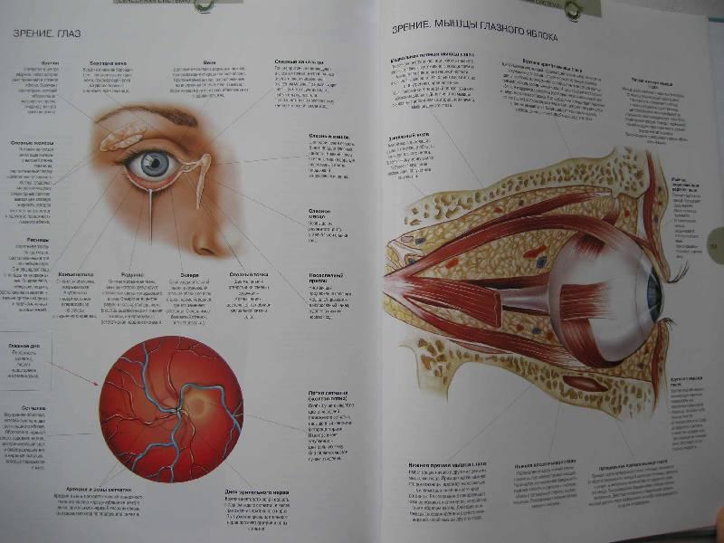 Глаз человека — википедия. что такое глаз человека