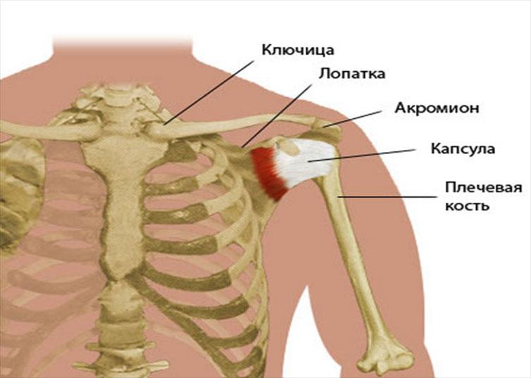 Ключица человека   анатомия ключицы, строение, функции, картинки на eurolab