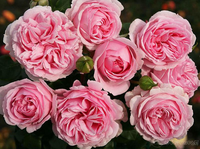 Роза шраб: описание сорта. полная инструкция по посадке, уходу