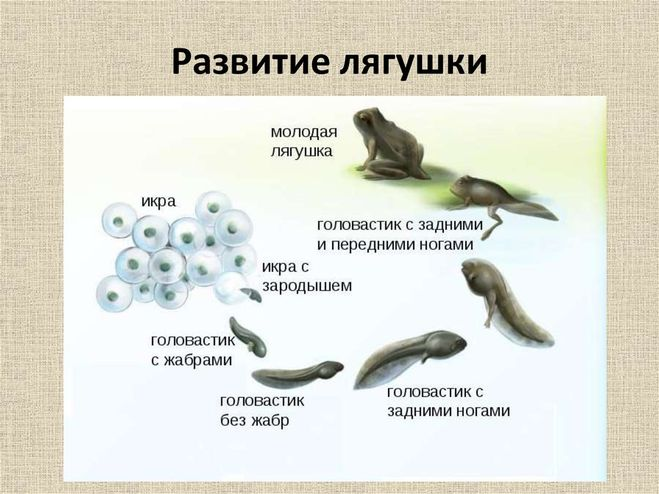 Птица ронжа: описание, среда обитания, особенности вида, размножение, жизненный цикл, характерные признаки и особенности