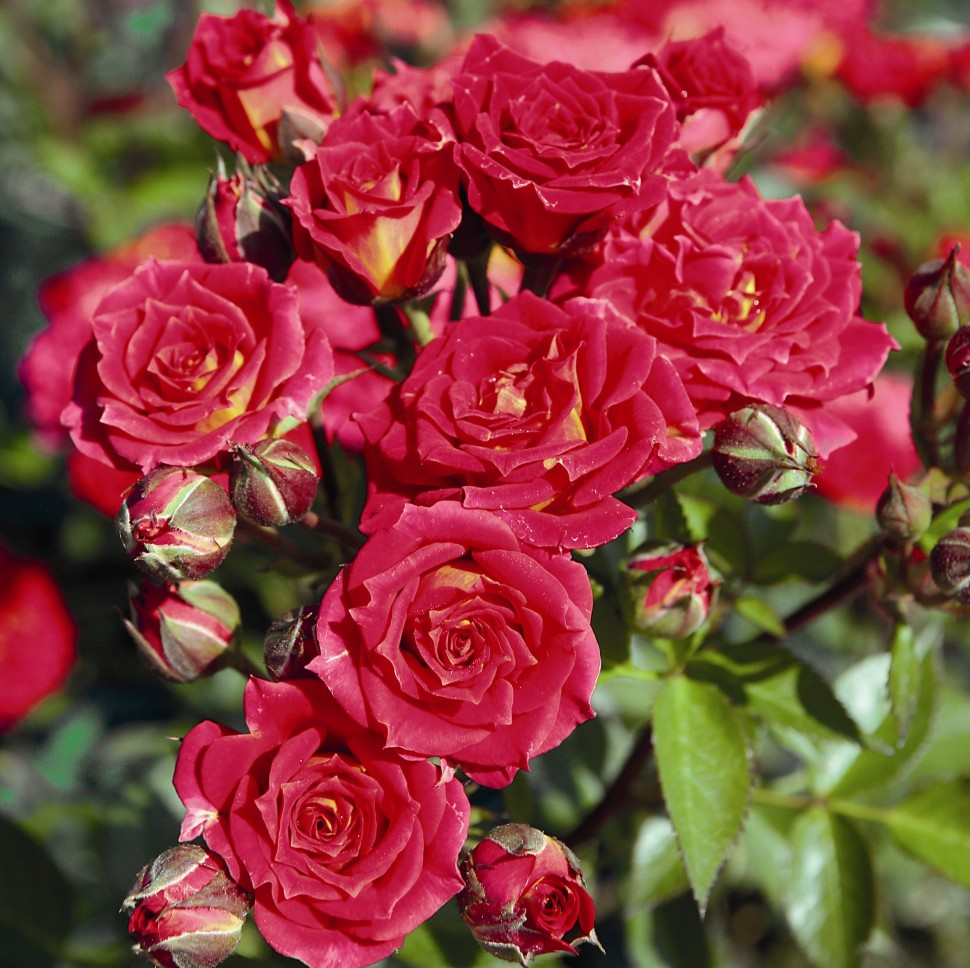 Что такое роза спрей: описание, фото, популярные сорта