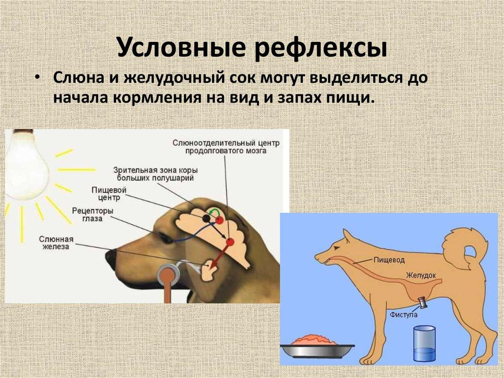 ᐉ собака павлова, что это – эффект собачки - zoomanji.ru