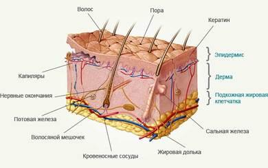 Эпидермис у растений (терминология, общие сведения, строение и функция)