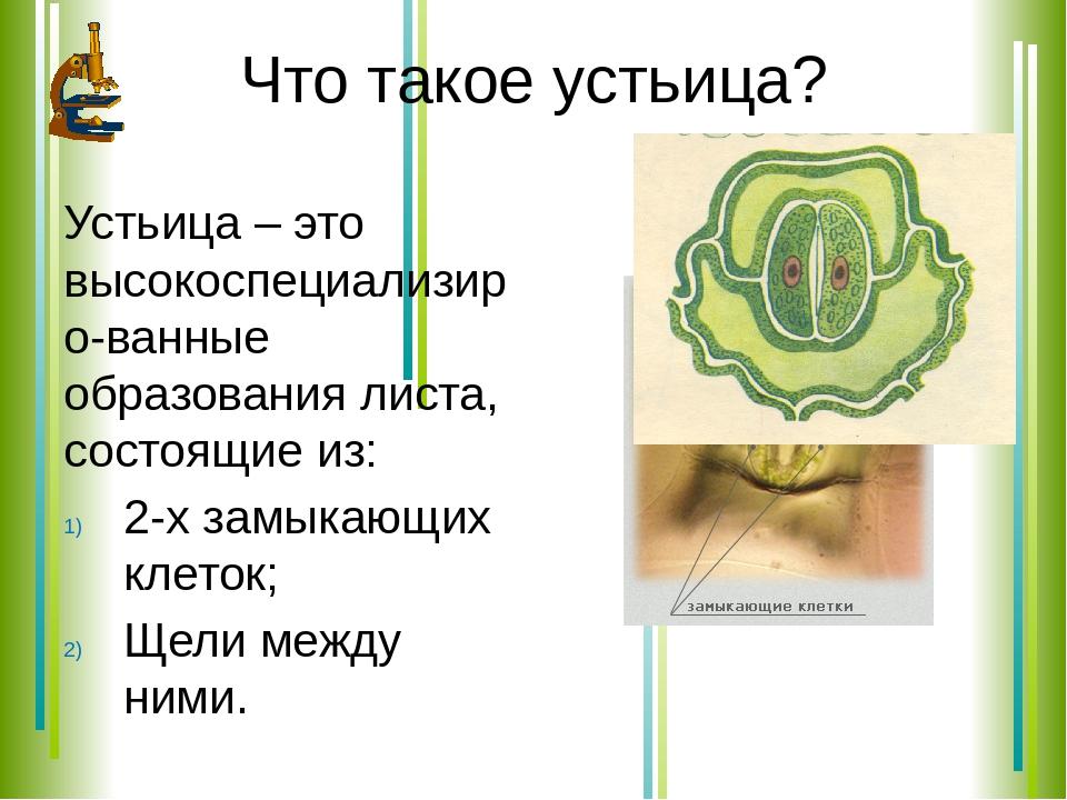 Основная функция устьиц. устьица, их строение и механизм действия. предназначение устьичной щели