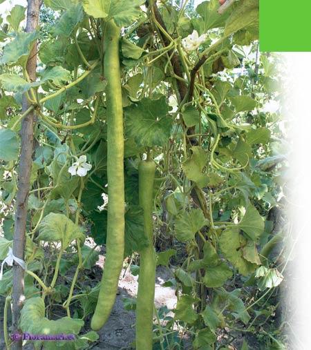 Лагенария: рецепты приготовления. лагенария - индийский огурец, вьетнамский кабачок, лагенария змеевидная. | здоровое питание