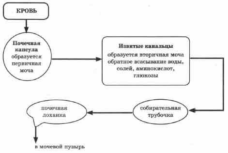 Органы мочеобразования и органы выделения: что это, краткое описание, анатомия, функции