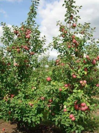Подвой для яблони: что это, как вырастить, классификация