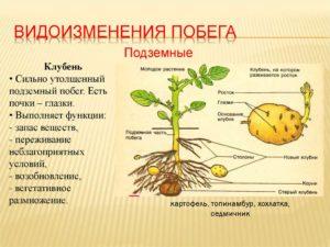 Картофель — это овощ или ягода: как развивается клубень картофеля