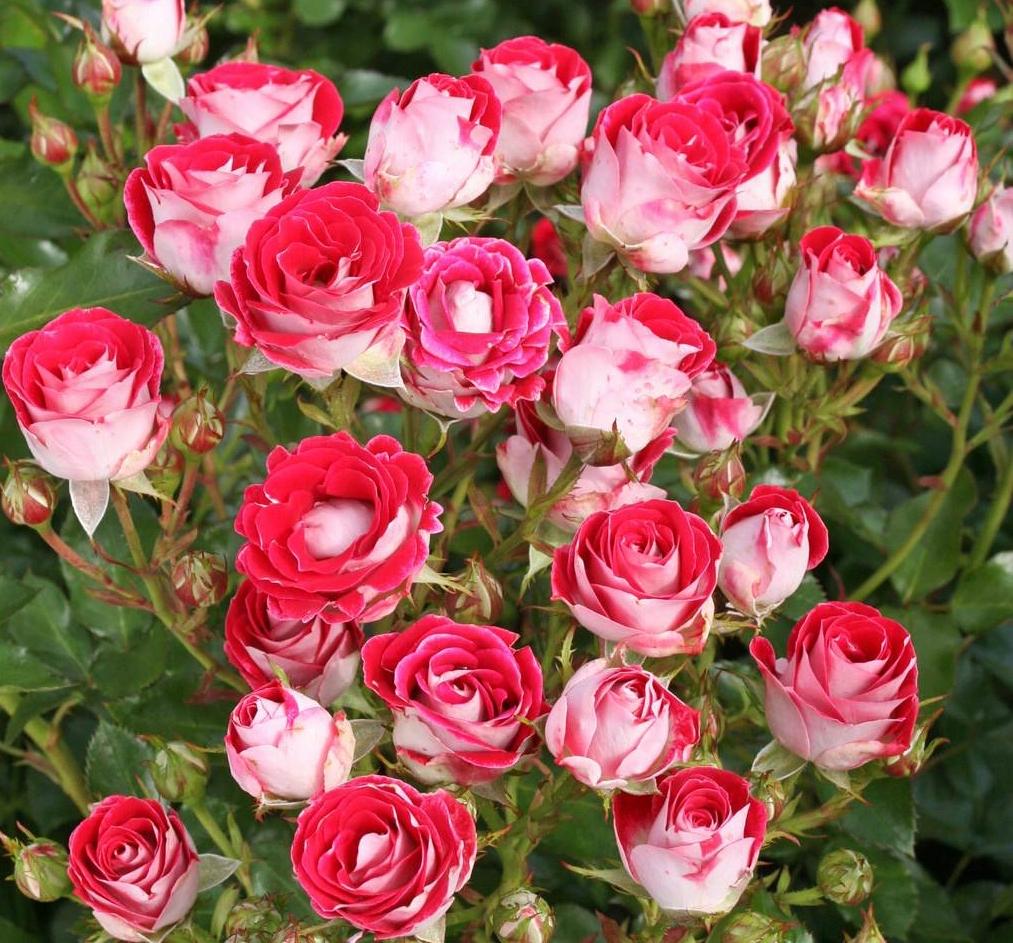 Роза спрей: описание сортов, посадка и уход в открытом грунте для новичков