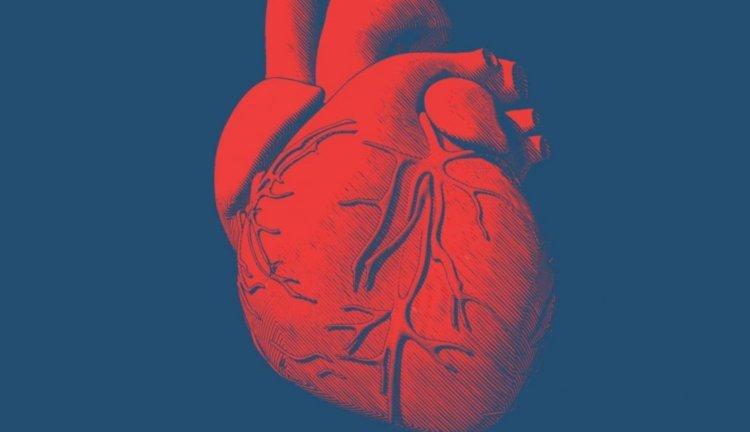 Все о строении и работе человеческого сердца: доступно о сложном