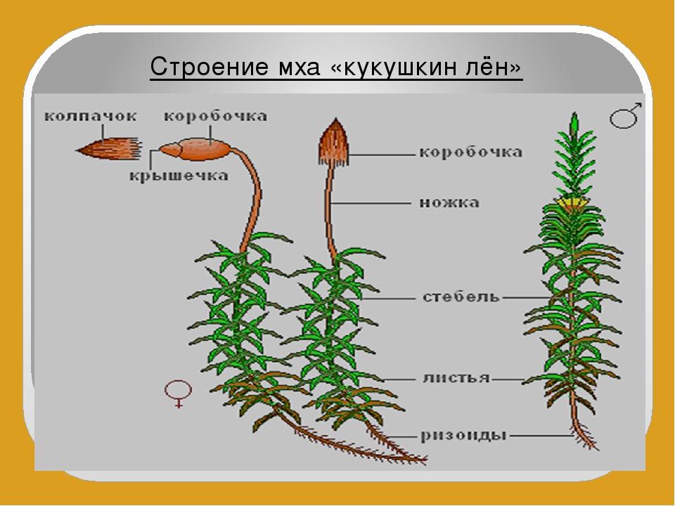 Мох. общая характеристика, размножение, классы и значение мхов