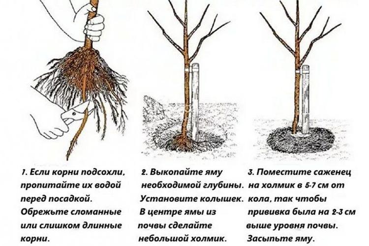 Что такое корневая шейка саженца