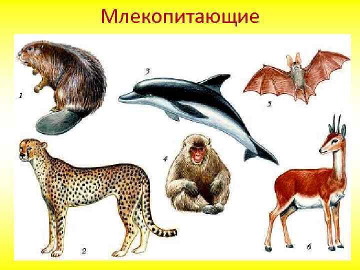 Отряды млекопитающих: названия, фото и краткая характеристика