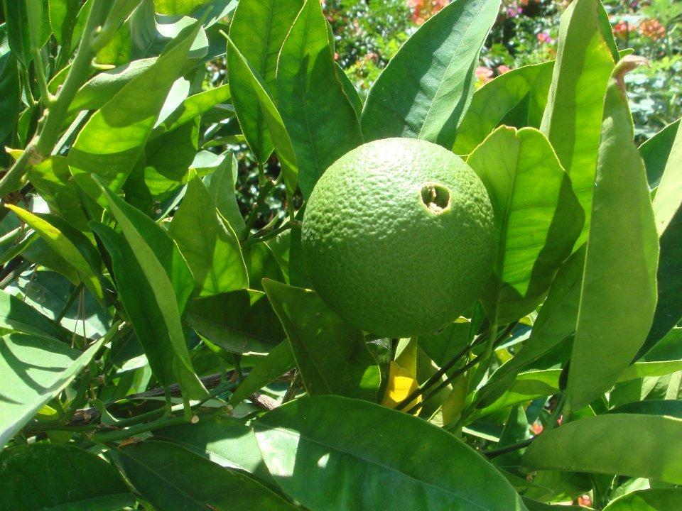 Бергамот — что это за растение, как выглядит, полезные свойства и противопоказания. состав и калорийность плодов бергамота. что делают из бергамота и как его выращивать