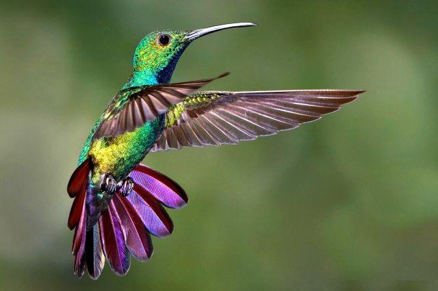 Колибри-якобин — википедия. что такое колибри-якобин