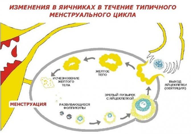 Желтое тело при беременности в яичнике: что это, размеры по неделям и когда исчезает, недостаточность желтого тела и нормы
