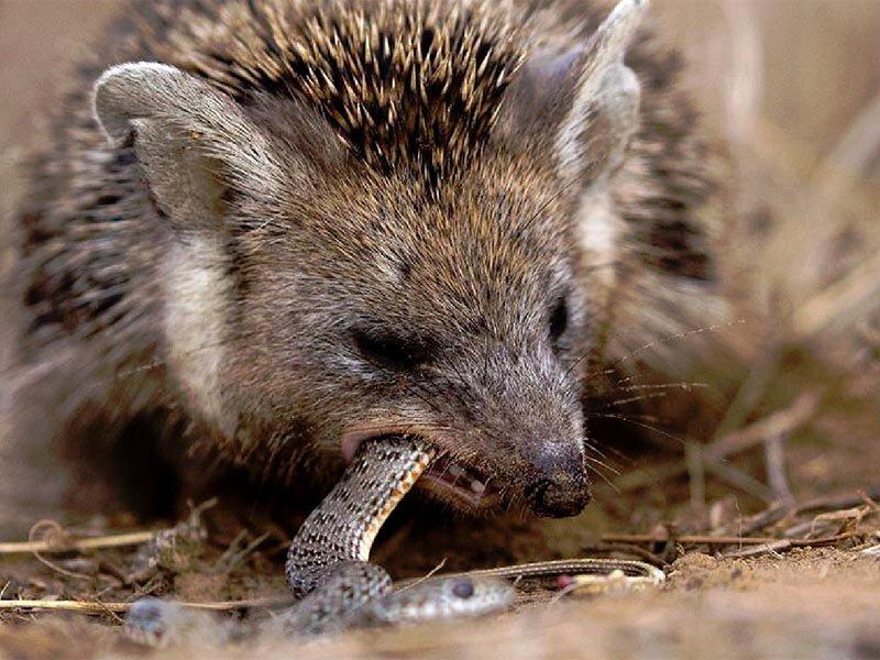 Как живут ежи в природе: описание животного, среда обитания, питание, размножение