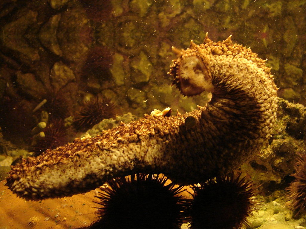 Морской огурец: необычный продукт полезный для здоровья