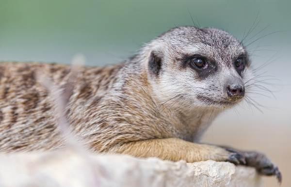 Сурикат животное. описание и образ жизни суриката
