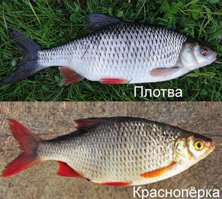 Плотва рыба: описание с фото, нерест, как ловить, рецепты