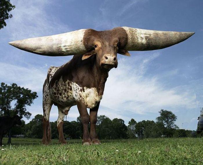 Крупный рогатый скот: это какие животные в нашем крае