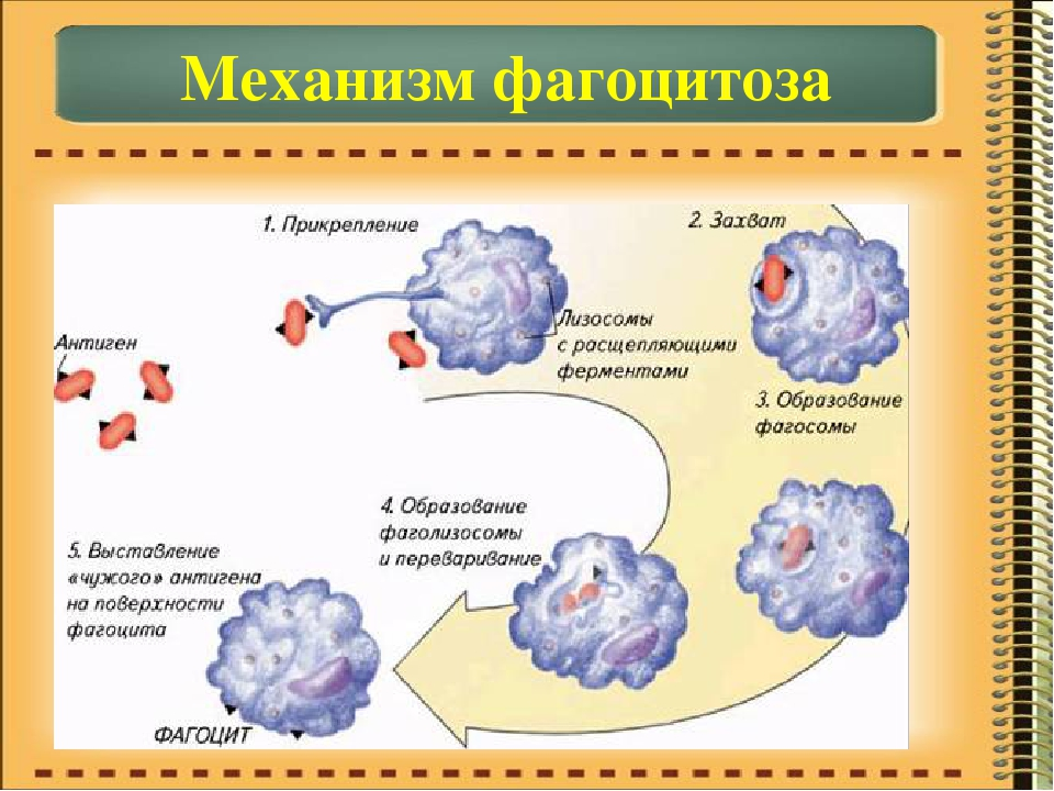 Альвеолярные макрофаги в мокроте: норма и отклонения, причины изменения количества, последствия