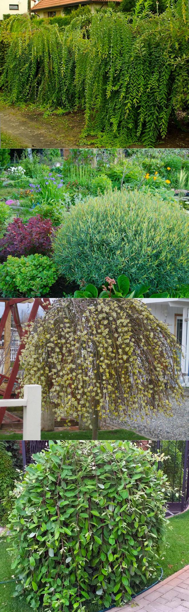Растение дрок: фото, сорта, описание, посадка и уход