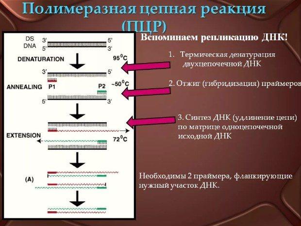 Анализ пцр: суть и ход метода, интерпретация результатов