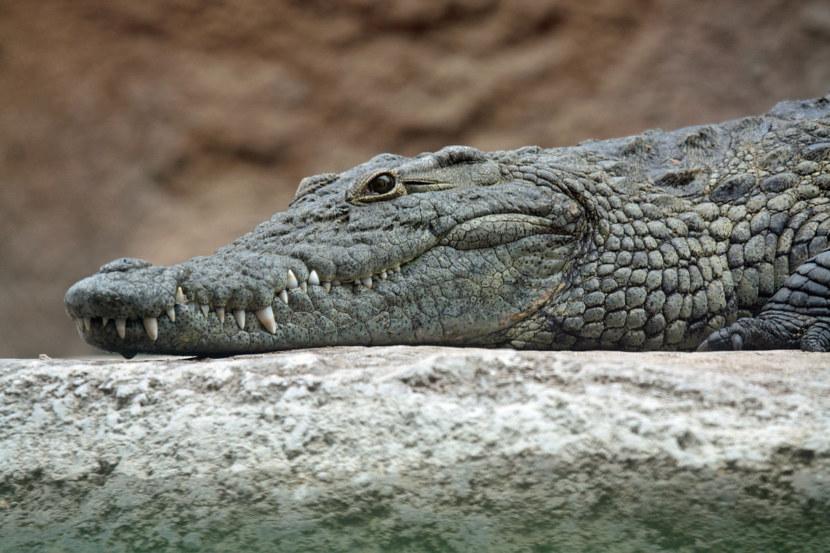 Крокодил что это? значение слова крокодил