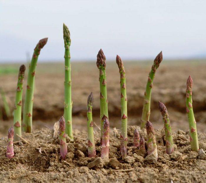 Как вырастить спаржу, и стоит ли она таких трудов   на грядке (огород.ru)