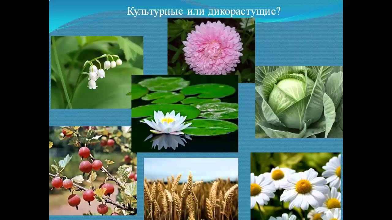 Культурные травянистые растения фото и названия - дневник садовода
